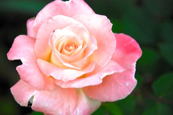 %22Princess Diana%22 Rose ©Cackie Trippe McCarty