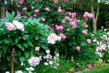 Symphony in pink: peonies, knockout roses, and evening primroses. May 2012