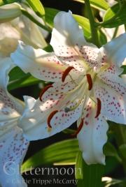Casablanca lily. June 28, 2012