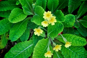 The humble little cowslip, harbinger of Spring
