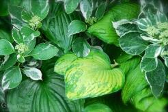Hosta & Hydrangea with Raindrops
