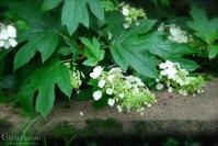 Oakleaf Hydrangea in the Rain