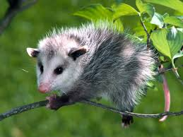 Baby Opossum courtesy of Google Images