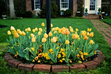Tulips, March 2012