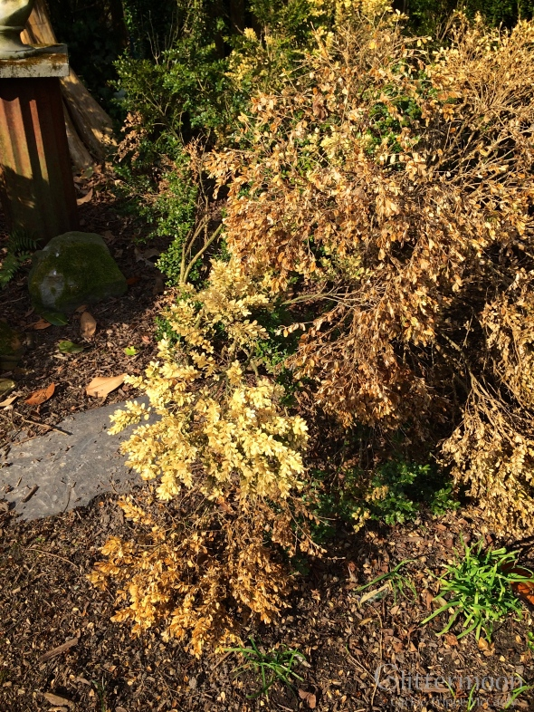My English boxwood toll a heavy toll this winter.