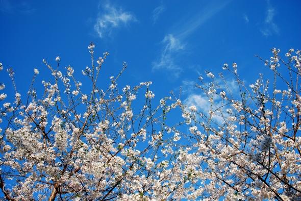 Cherries in the sky