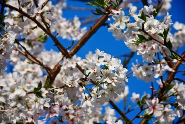Close-up of Yoshino Cherry Blossoms